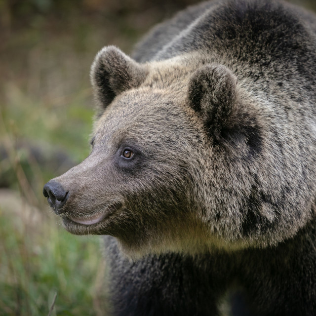 """brown bear portrait"" stock image"