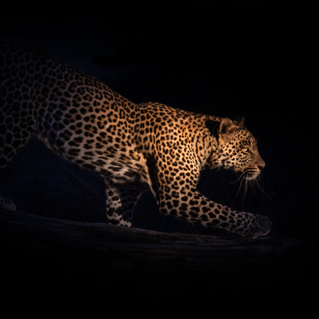 """""""leopard at night"""" stock image"""