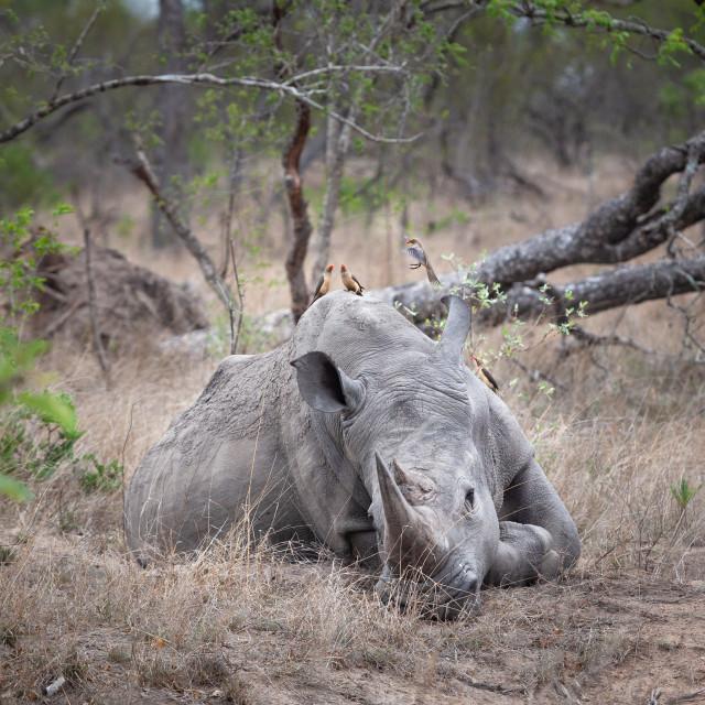 """Sleeping rhino and oxpeckers"" stock image"