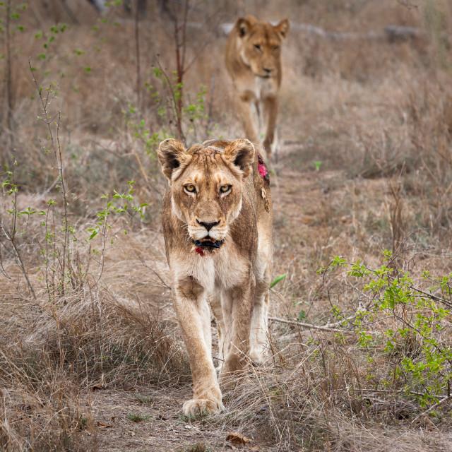 """injured lioness"" stock image"