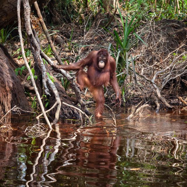"""orangutan near river"" stock image"