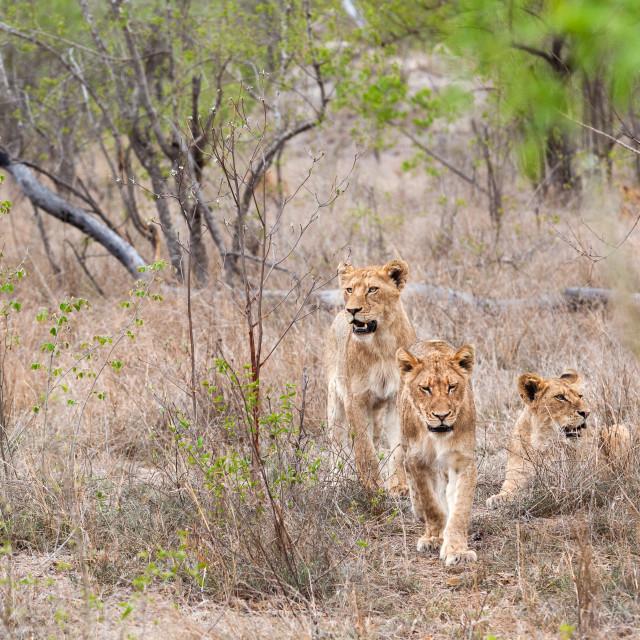 """lions pride"" stock image"