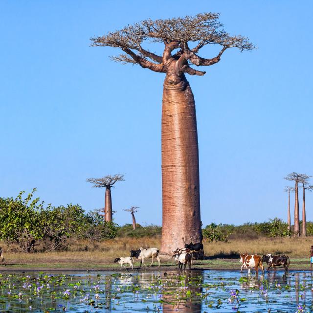 """""""Madagascar landscape"""" stock image"""