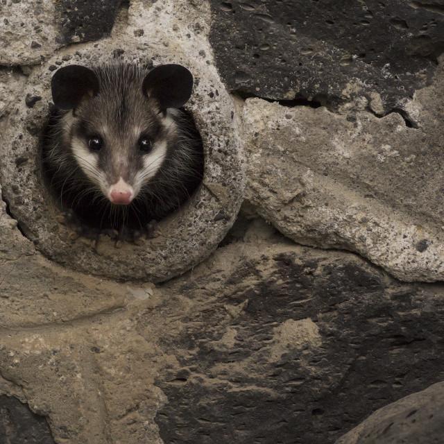 """Urban opossum"" stock image"