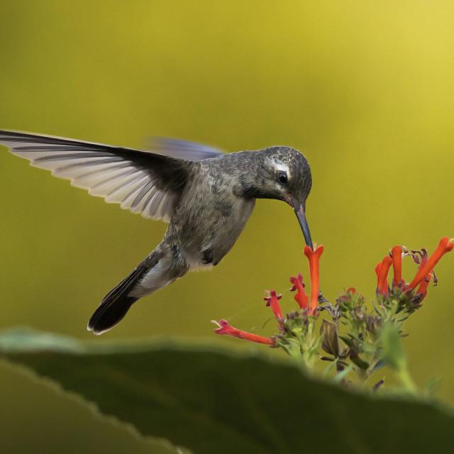 """Thirsty hummingbird"" stock image"