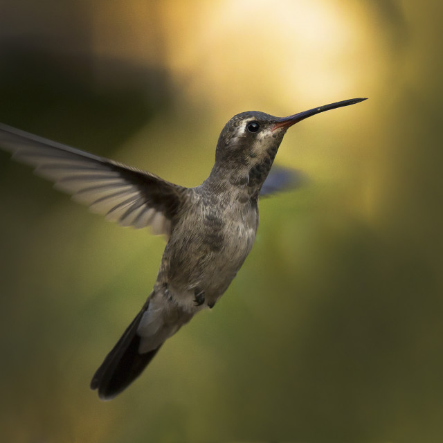 """Flying hummingbird"" stock image"
