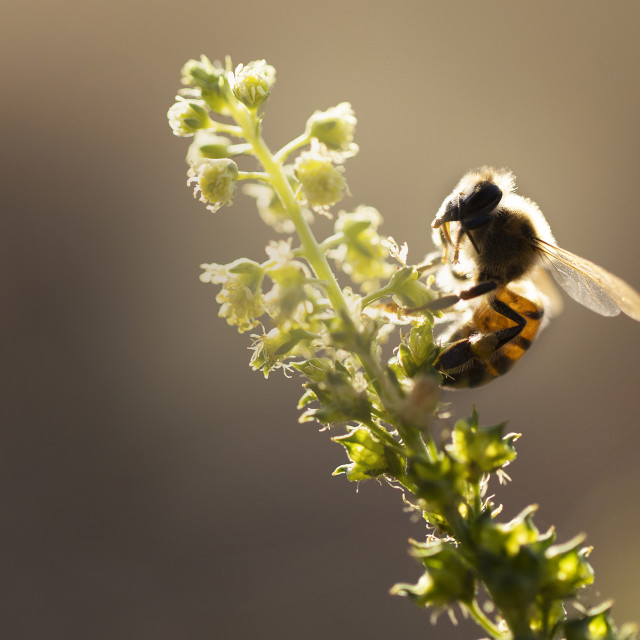 """""""Bee at sunset"""" stock image"""