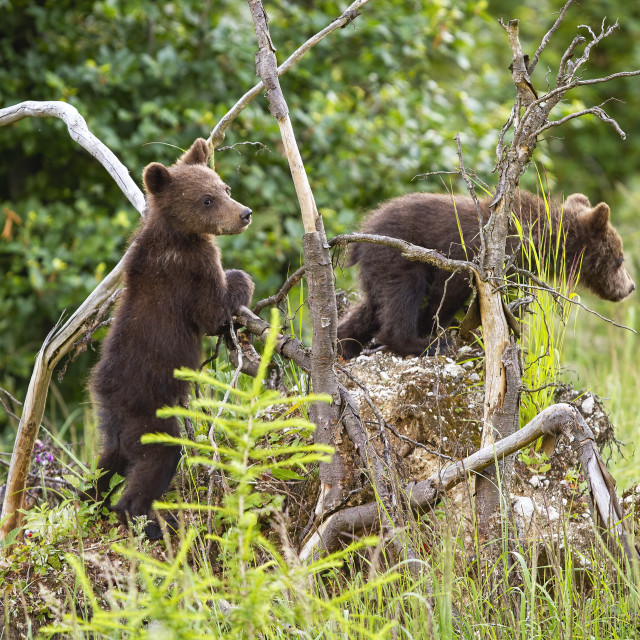 """""""Two brown bear cubs climbing uprooted tree in forest"""" stock image"""