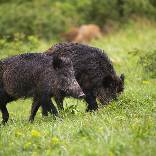 """""""Wet wild boars feeding on green meadow in summer nature"""" stock image"""