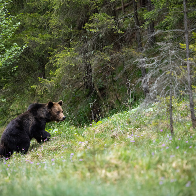 """""""Majestic brown bear walking up a slope covered with grass in summer forest"""" stock image"""