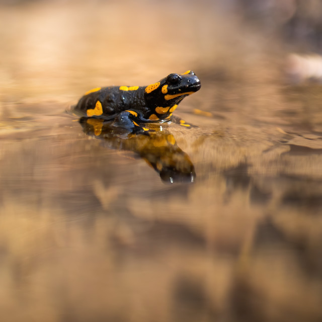"""""""Slow fire salamander resting in water with blurred riverbank in background"""" stock image"""