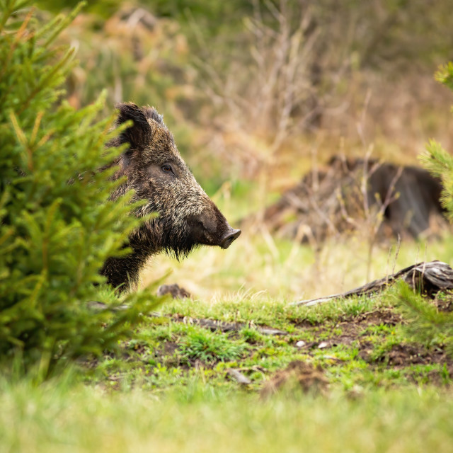 """""""Dreamy wild boar waiting hidden behind the small tree in the spring forest"""" stock image"""