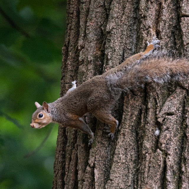 """""""Gray squirrel clinging to a tree trunk"""" stock image"""