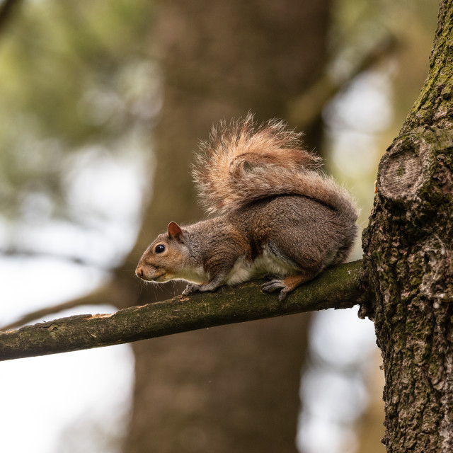 """""""Gray squirrel on a tree branch"""" stock image"""