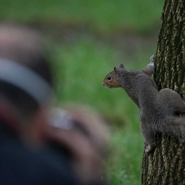 """""""Gray squirrel photographed while climbing a tree"""" stock image"""