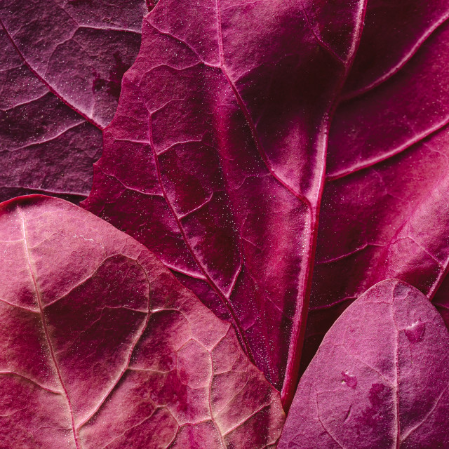 """""""Mountain spinach leaves. Red plants background"""" stock image"""