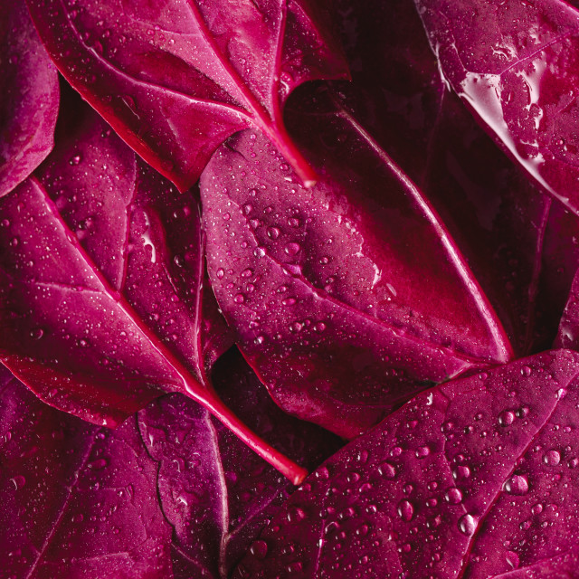 """""""Red orache leaves close-up. Vegetable leaves background"""" stock image"""