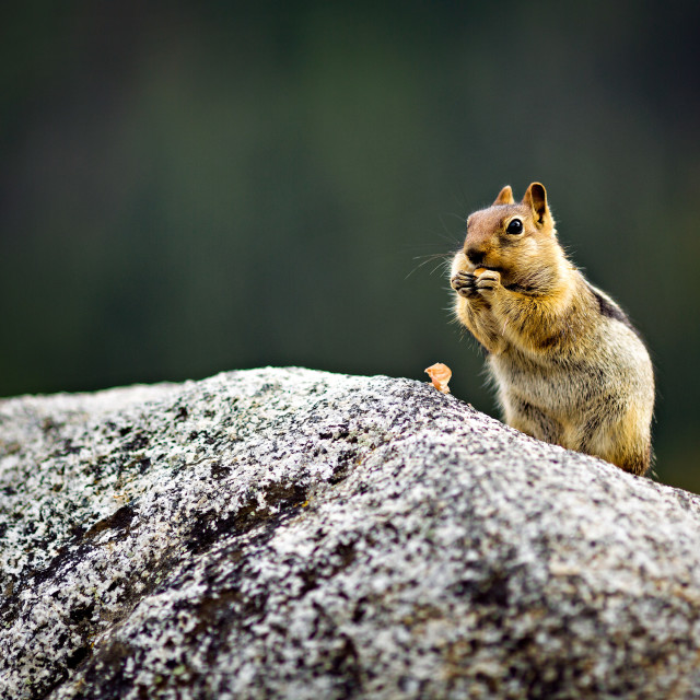 """Chipmunk eating a nut"" stock image"