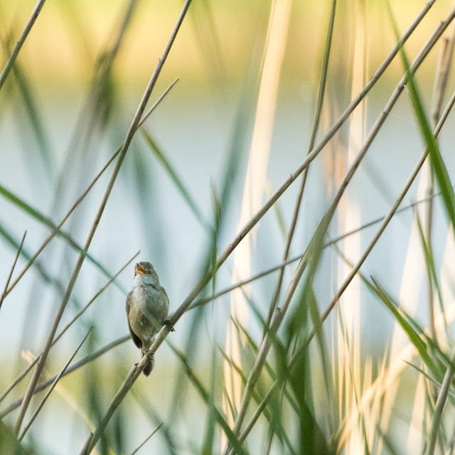 """Reed Warbler - golden morning"" stock image"