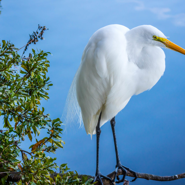 """""""A Great White Egret in Orlando, Florida"""" stock image"""