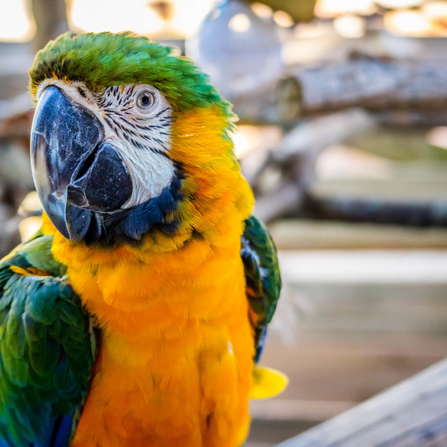 """""""A Green and Gold Macaw in Orlando, Florida"""" stock image"""