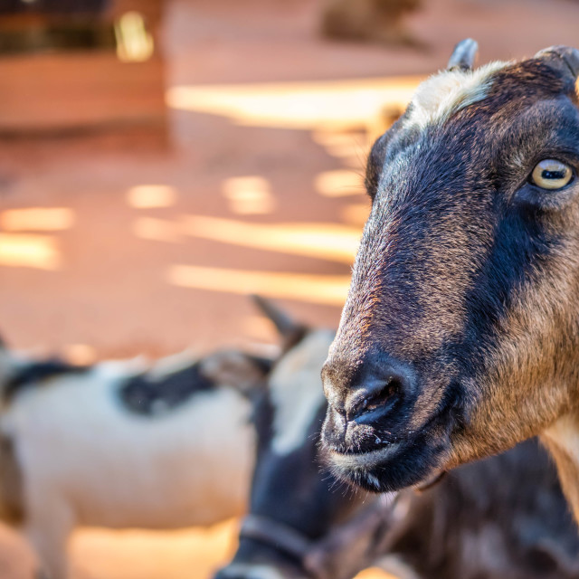 """""""A Spanish Goat inside the ranch of Orlando, Florida"""" stock image"""