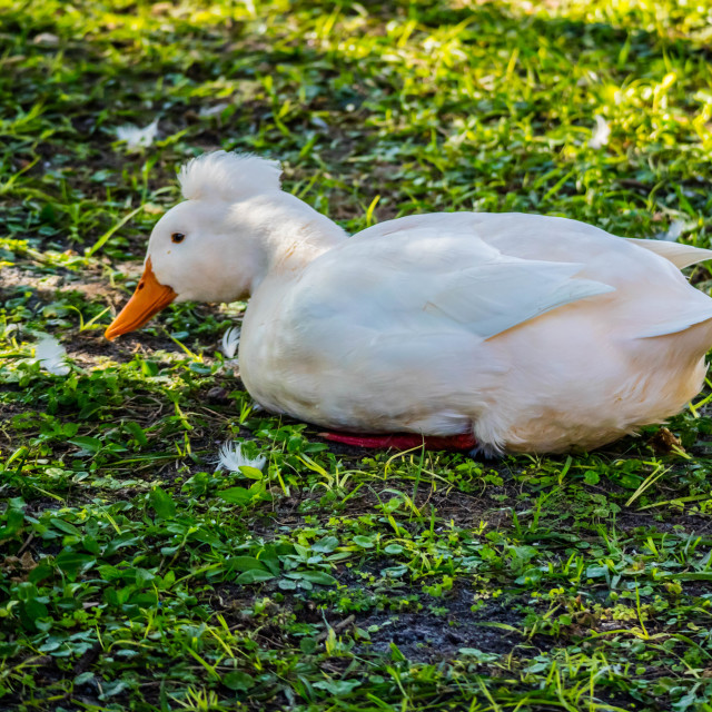 """""""A White Crested Duck in Orlando, Florida"""" stock image"""