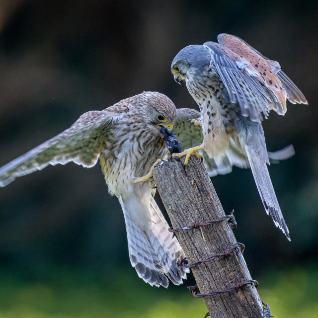 """""""Wild Kestrels fighting for lunch"""" stock image"""