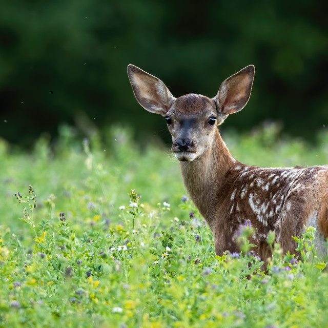 """""""Cute red deer fawn looking back on a green meadow in summer nature"""" stock image"""