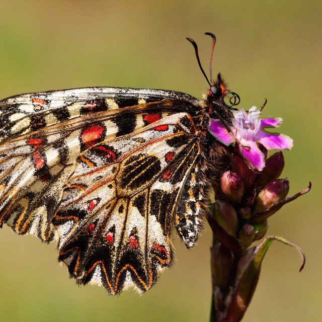 """""""Southern festoon resting on flower on a meadow with yellow dry grass in summer"""" stock image"""