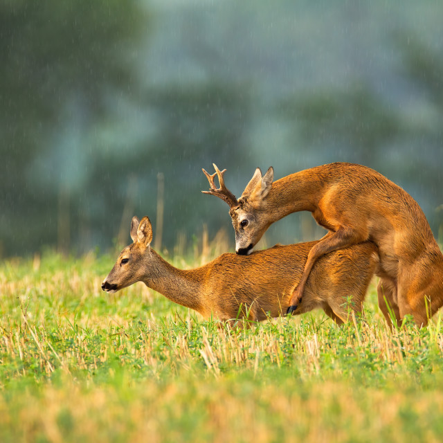 """""""Roe deer buck and doe mating in rutting season on a stubble field"""" stock image"""