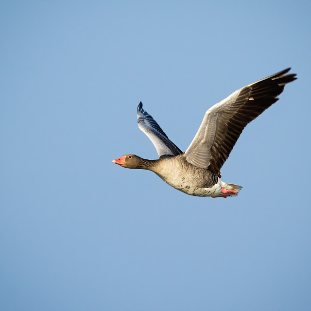 """""""Greylag goose flying with open wings against blue sky illuminated by sun"""" stock image"""