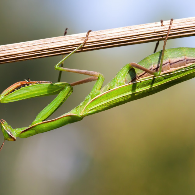 """""""European mantis holding on plant upside down in summer nature at sunset"""" stock image"""