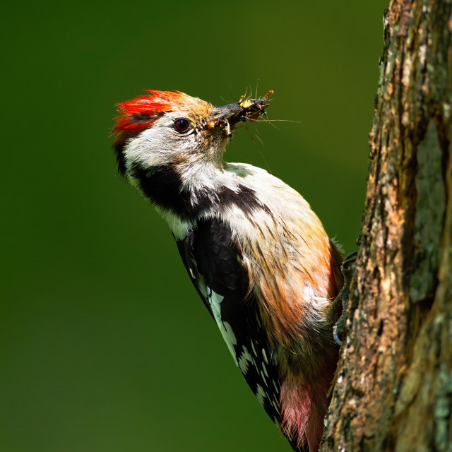"""""""Middle spotted woodpecker gripping onto tree trunk illuminated by sun in forest"""" stock image"""