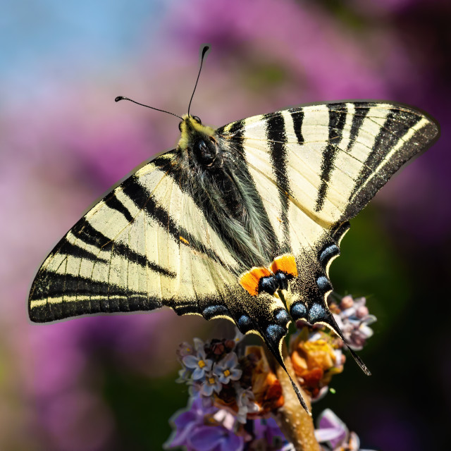 """""""Top view of scarce swallowtail sitting on violet flower in summer"""" stock image"""