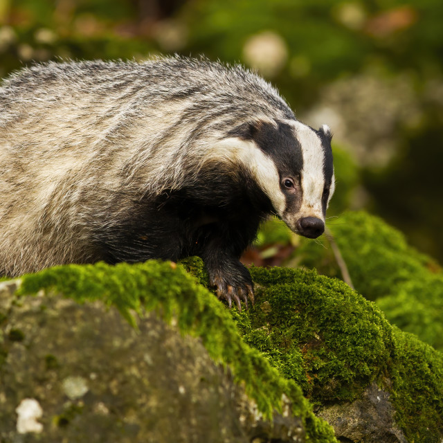 """""""European badger walking on rocks with green moss in summer forest"""" stock image"""