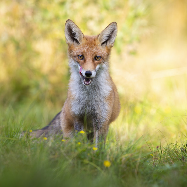 """""""Interested red fox on meadow in summer at sunrise from front view"""" stock image"""