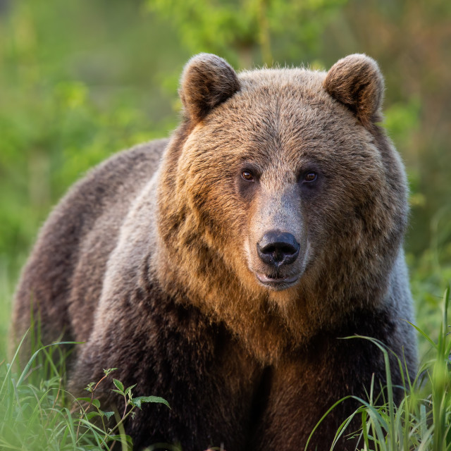 """""""Vertical portrait of brown bear observing in green grass from front"""" stock image"""