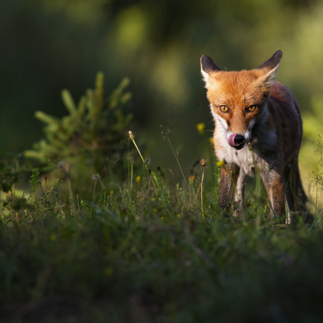 """""""Focused red fox staring into camera and licking mouth in summer at sunset"""" stock image"""