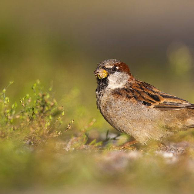 """""""Small house sparrow male sitting on a gravel road and feeding on grass"""" stock image"""