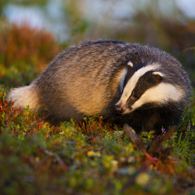 """""""Thoughtful european badger looking for food in moorland at sunrise in summer."""" stock image"""
