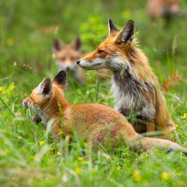 """""""Adult red fox on the clearing with yawning cub and other cubs in the background"""" stock image"""