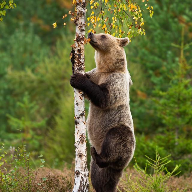 """Female brown bear climbing thin birch tree on heathland in autumn nature"" stock image"