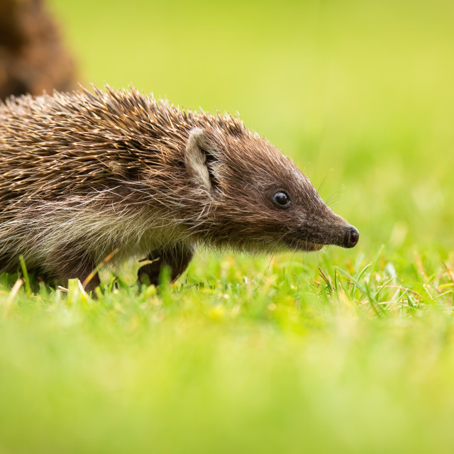 """""""Young northern white-breasted hedgehog walking on meadow with green grass"""" stock image"""