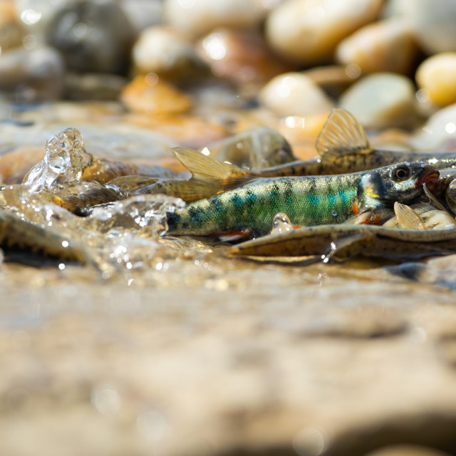"""""""Common minnow reproducing on gravel in summer nature"""" stock image"""