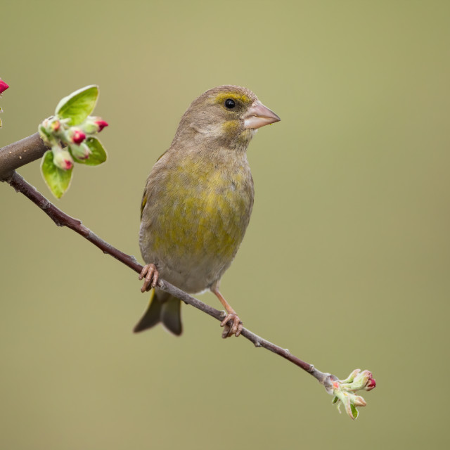 """""""Male european greenfinch sitting on twig with red flowers and facing camera."""" stock image"""