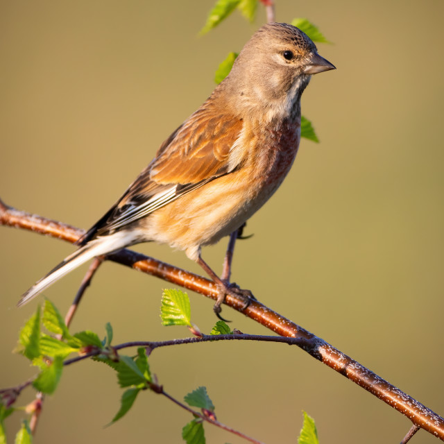 """""""Female common linnet perched on tree twig in vertical composition at sunrise"""" stock image"""