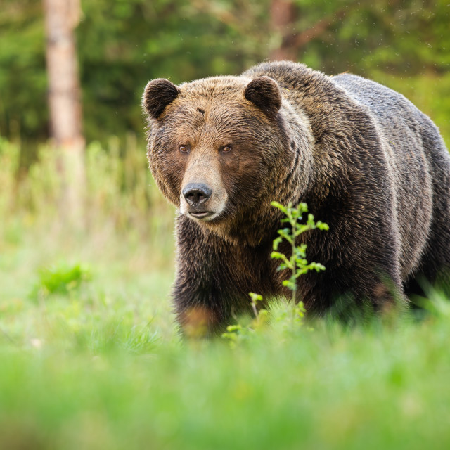 """""""Surprised brown bear coming closer on green glade in summer nature."""" stock image"""