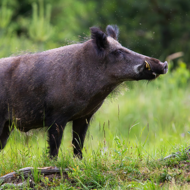 """""""Proud wild boar with white tusks sniffing on green glade in summer nature"""" stock image"""