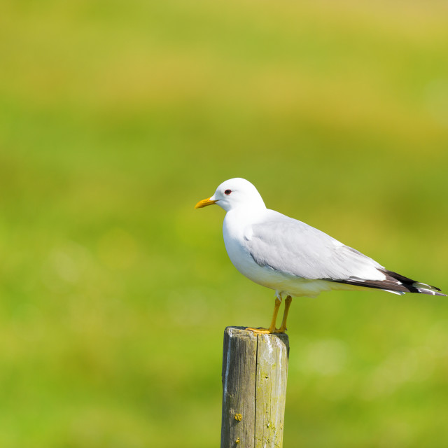 """Great Black-headed gull on pole"" stock image"